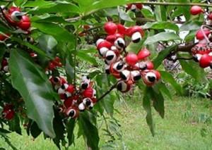 Guarana bio : avantages et effets secondaires du guarana