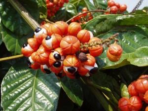 Guarana biologique antioxydant naturel